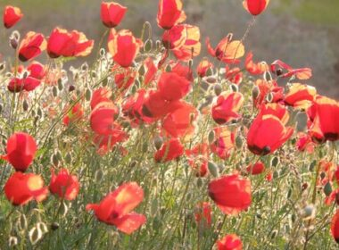 Poppies in the desert.