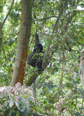 Nearby, a baby gorilla practised climbing in the trees, swinging up and down a sapling. Photo by Alex Jones