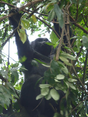 A baby gorilla looks down from her perch in Bwindi Impenetrable Forest. Photo by Alex Jones