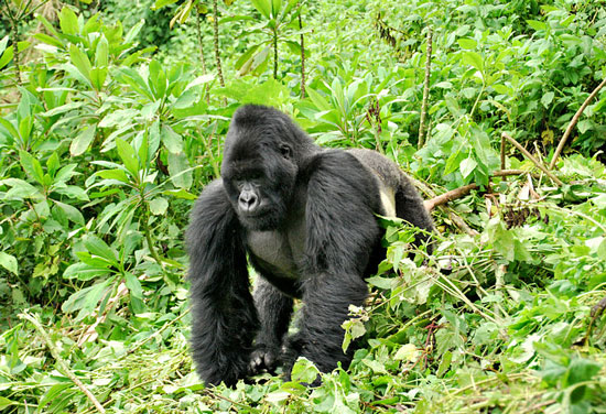 Gorilla safari in Uganda - Fewer than a thousand mountain gorillas remain in the world, inhabiting a thin strip of territory stretching across Uganda, Rwanda and Democratic Republic of Congo (DRC)