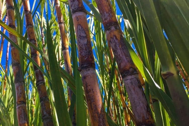 San Juan Puerto Rico sugarcane plantations for rum productions