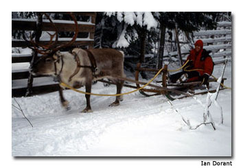 Ulla the reindeer finishes with a final burst of speed.