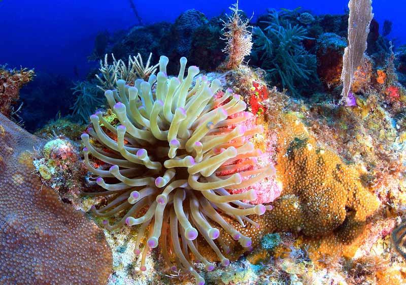 Large Sea Anemone living at the Florida Keys National Marine Sanctuary