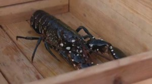 Video: Lobster Fishing Adventure in Sweden