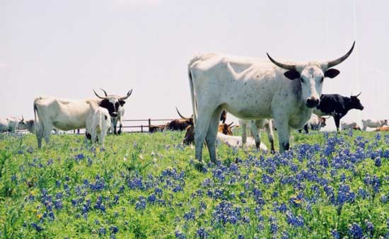 Texas Longhorn cattle amidst a field of bluebonnet flowers. Photo by Washington County Chamber of Commerce