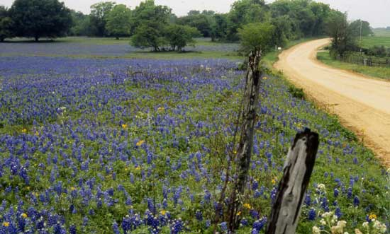 Fields of bluebonnets. Photo by Washington County Chamber of Commerce