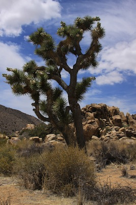 If Dr. Seuss drew a park, it would be this one: Joshua Tree National Park, an  hour from Palm Springs. Photo by Rick DuVal