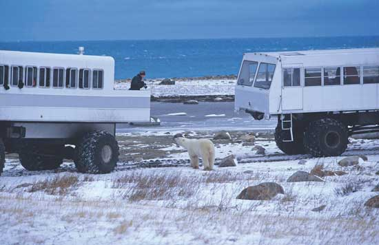 A specially-designed tundra buggy allows visitors to get closer to the polar bears. Photo courtesy Travel Manitoba