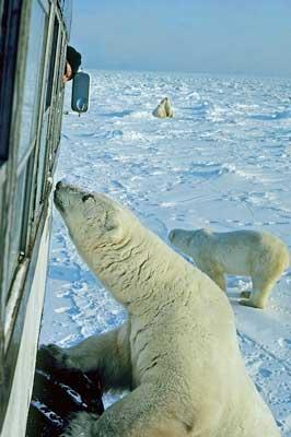 A curious polar bear inspects the tundra buggy. Photo courtesy Travel Manitoba