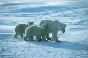 Safari on Ice: Exploring the Northern Tundra