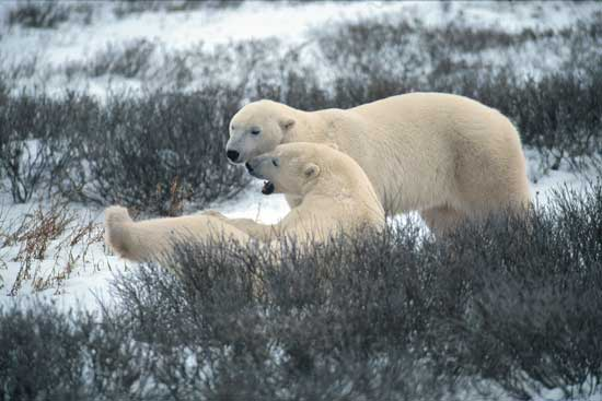 Polar bears at play near Churchill