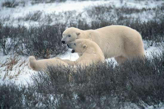 Polar bears at play near Churchill