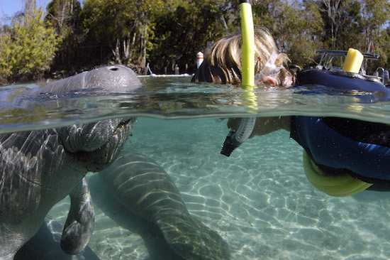 Swimmer gets a greeting from a manatee in Citrus Springs, Florida