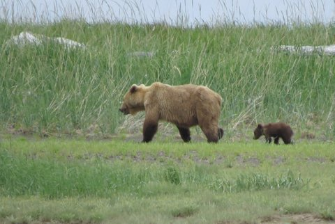 Mama Bear in Katmai National Park