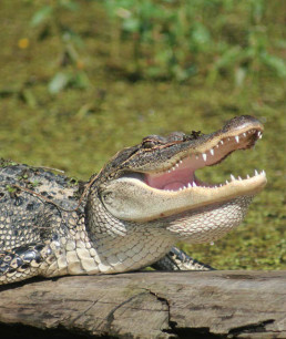 An alligator in Louisiana opens its large mouth.