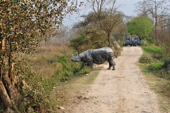 A one-horned rhino tries to escape the glare of tourists at the Kaziranga National Park in Assam. The park is a World Heritage Site and boasts of almost two-thirds of the global population of the one-horned rhino. Photo by Mukul Satya Gupta