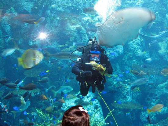 A diver feeds fish at the Aquarium of the Pacific.