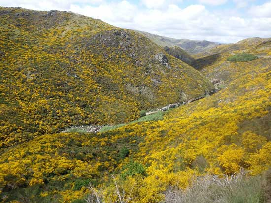 Golden blossoms of gorse cover hillsides near the Taieri River. Photo by Catherine Fancher