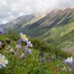 Columbine flowers cover the hillsides during the Colorado summer. Photo courtesy Colorado.com