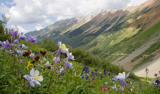 Columbine flowers cover the hillsides during the Colorado summer. Photo courtesy Colorado.com