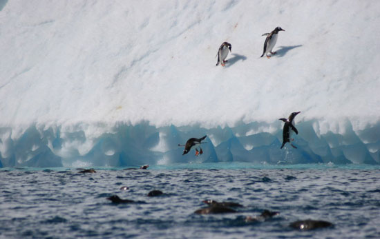 Penguins at play in Antarctica.