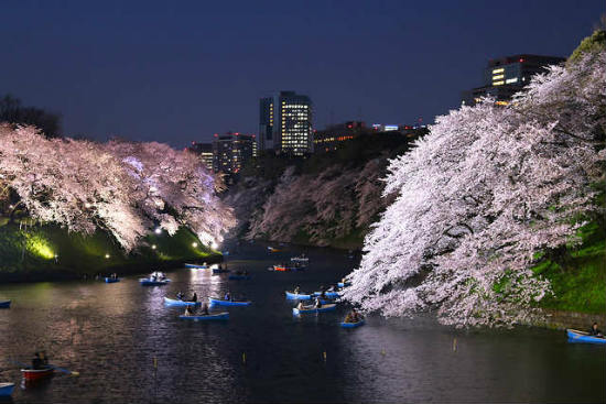 The cherry blossoms can even be viewed from the water.