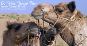 Go West, Young Paco: Indian Camel Safari