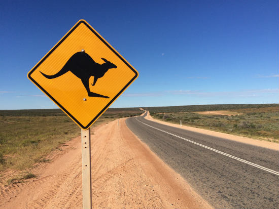 Kangaroos are a road hazard for drivers.