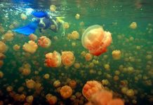 Jellyfish Lake - Swimming with Jellyfish in Palau