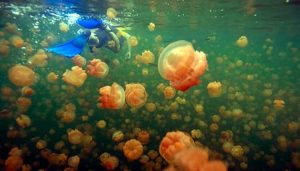 Swimming with Jellyfish in Palau, Micronesia