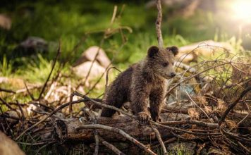Baby bear at Katmai National Park