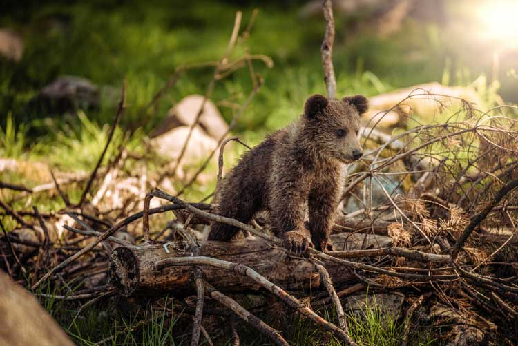 Baby bear at Katmai National Park
