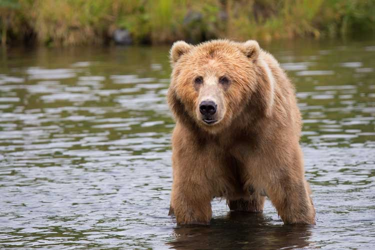 Bear viewing in Alaska. Photo by