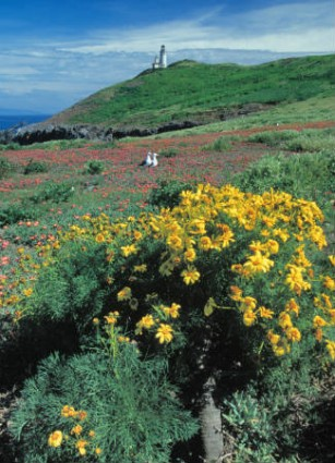 Wildflowers bloom beautifully on the Channel Islands of California.