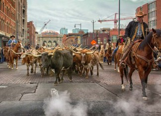 The National Western Stock Show in Denver kicks off with a parade through downtown Denver. Photo by Visit Denver