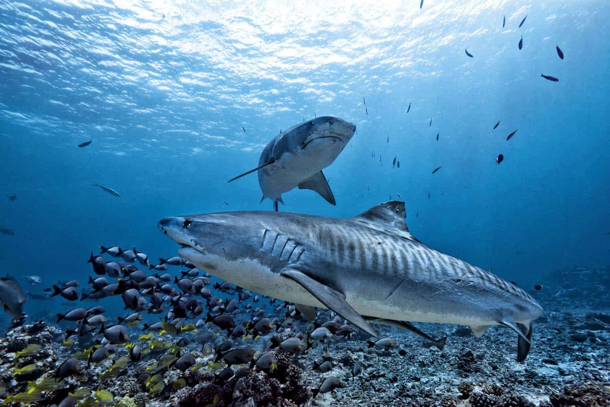 Shark Diving in The Bahamas: Travel in the Bahamas