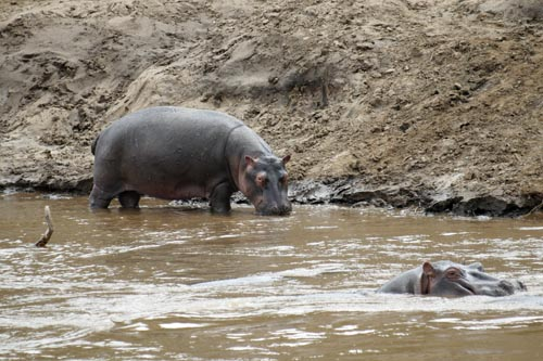 Hippos in Kenya. Flickr/DEMOSH