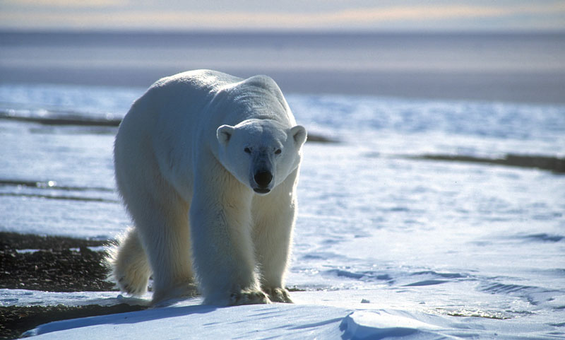 Polar bear in Greenland. Photo courtesy VisitGreenland.com