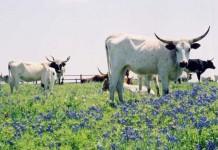 Bluebonnet season in Texas