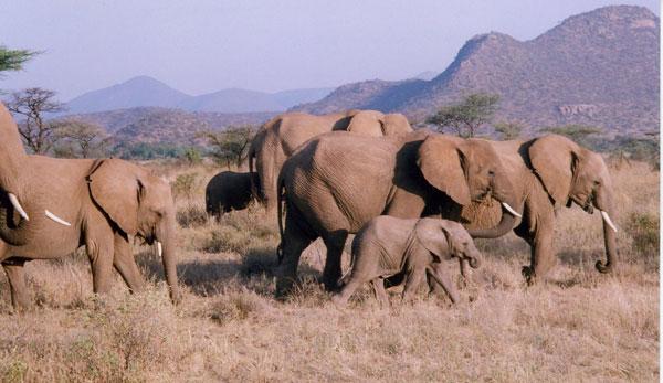 Safari in Kenya - Elephants in Kenya. Photo by Irene Middleman Thomas