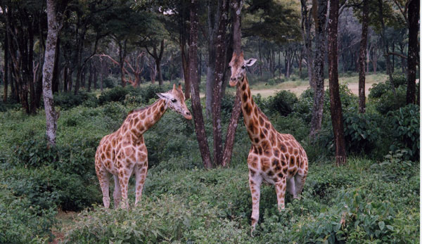 Giraffe in Kenya. Photo by Irene Middleman Thomas
