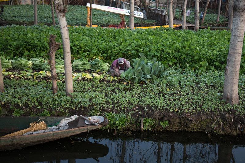 Cultivating vegatables on Dal Lake