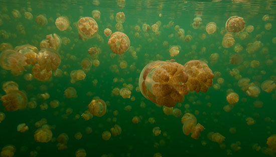 The jellyfish in Jellyfish Lake are harmless. Photo by PVA