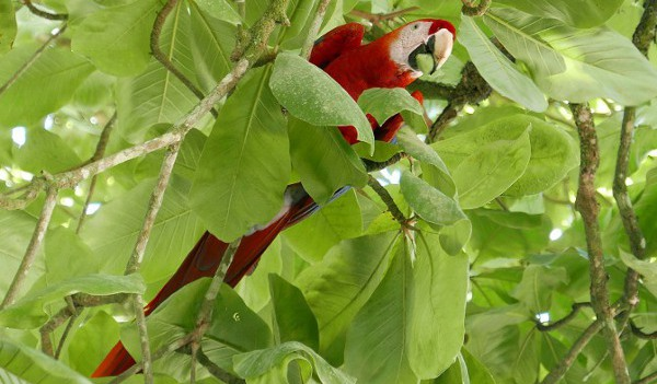 Costa Rica Rainforest - Scarlett Mcaws were daily visitors. Photo by Kelvin L. Woelk