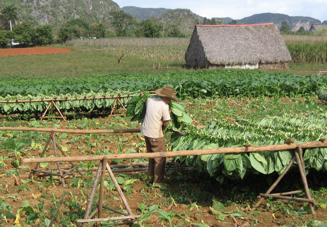 Tobacco farming is an important part of the Cuban economy. Photo by Laurie Thornton