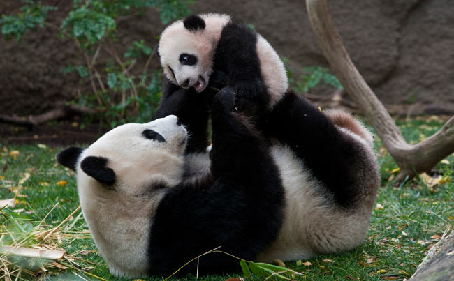 Mother Panda, Bai Yun and her baby, Yun Zi, at the San Diego Zoo. Photo by San Diego Zoo