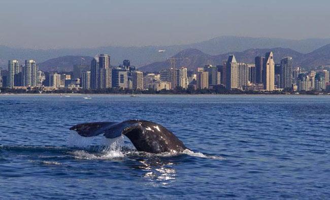 A whale breaches near the San Diego skyline. Photo by Next Level Sailing