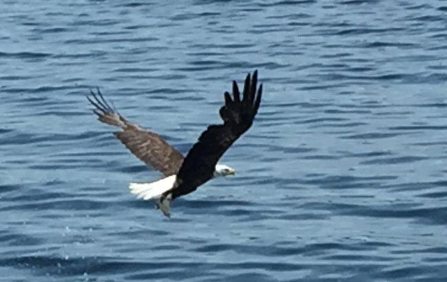 A bald eagle soars overhead. Photo by Beverley DeSantis