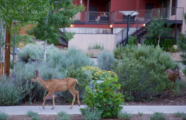 Local deer walk the streets of Durango, CO. Photo by Jack Bohannan