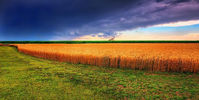 Kansas wheat.